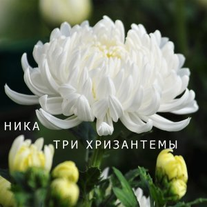 Three Сhrysanthemums