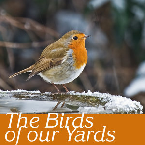 The birds of our yards