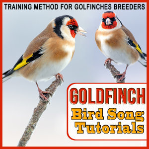 Training Method for Goldfinches Breeders. Goldfinch Bird Song Tutorials