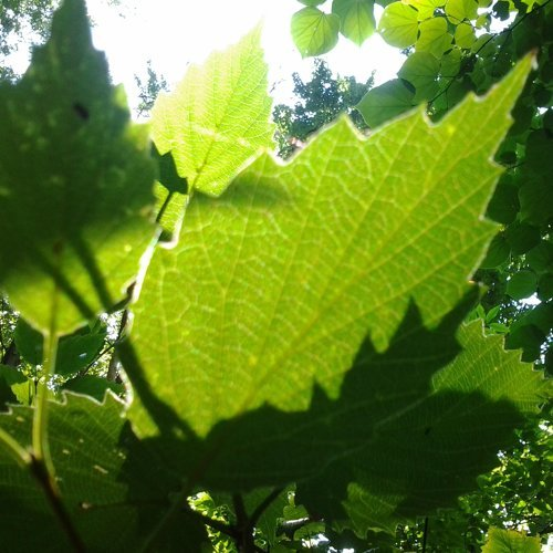 Three Leaves (Instrumentals) - Instrumental