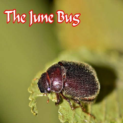 The June Bug