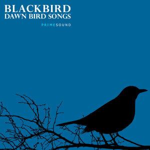 Blackbird Dawn Bird Songs