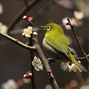 Japanese songbird (日本三鳴鳥) Foto artis