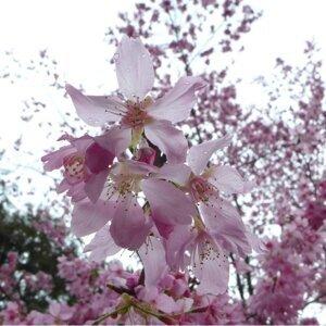 粉嫩的櫻花時節將到來