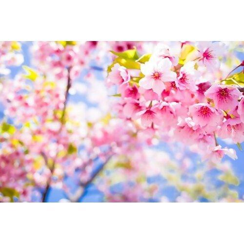 粉色春天,櫻花開了