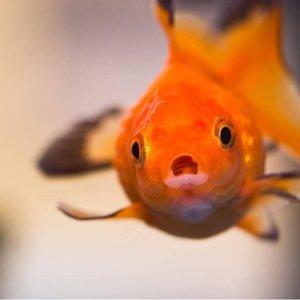 我就是金魚腦!