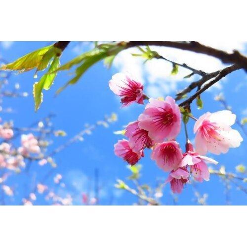 沒時間出去賞櫻?讓我們用耳朵享受櫻花之美吧!