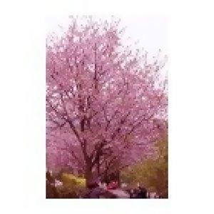 love上櫻花