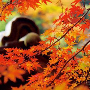 漫步金黃色世界,一起去京都賞楓!