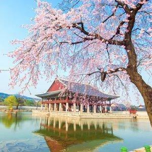 想和你在景福宮的櫻花樹下漫步