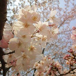 賞櫻的路上,只想和你一起唱
