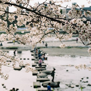 今年和你去看京都櫻滿開