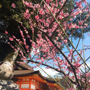 這個春天,我想和你賞櫻