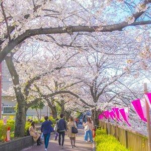 粉色翩翩 2021最新櫻花歌