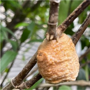 【EP5】庭院自然課_螵蛸是什麼東西?螵蛸其實就是螳螂的卵塊!!!